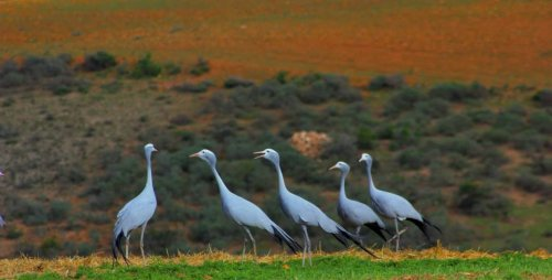 Blue Cranes in Witsand